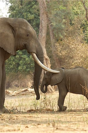 Adult male African Elephant with trunks over calf, Mana Pools, Zimbabwe Stock Photo - Premium Royalty-Free, Code: 614-06336469