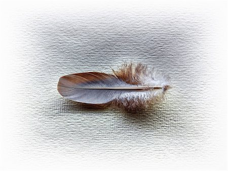 feather  close-up - A feather Stock Photo - Premium Royalty-Free, Code: 614-06402702