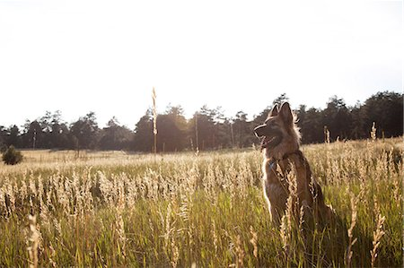 dogs in nature - German Shepherd in a field Stock Photo - Premium Royalty-Free, Code: 614-06402851