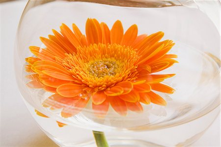 petal - Orange gerbera flower in goldfish bowl Stock Photo - Premium Royalty-Free, Code: 614-06442968