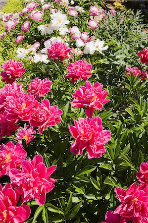 floral patterns peony - Colorful flowers growing in garden Stock Photo - Premium Royalty-Free, Code: 614-06536815