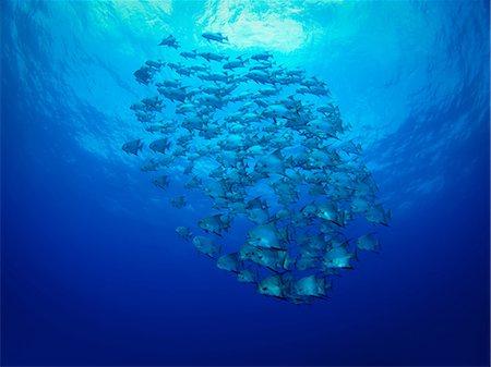 School of fish swimming underwater Stock Photo - Premium Royalty-Free, Code: 614-06536888