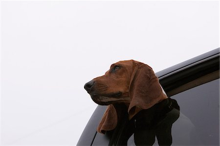dogs in nature - Dog poking head out car window Stock Photo - Premium Royalty-Free, Code: 614-06625108