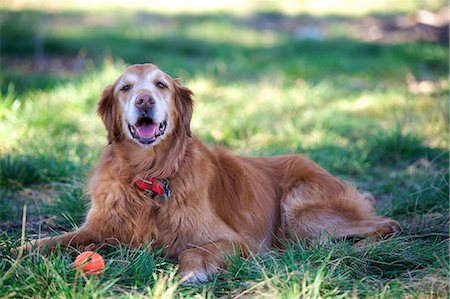 furry - Portrait of golden retriever lying on grass Stock Photo - Premium Royalty-Free, Code: 614-06897195