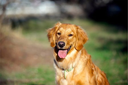 dogs in nature - Portrait of golden retriever in sunlight Stock Photo - Premium Royalty-Free, Code: 614-06897196