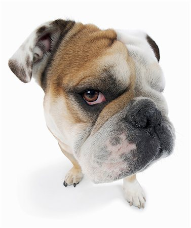 Studio portrait of english bulldog looking suspiciously Stock Photo - Premium Royalty-Free, Code: 614-06897193