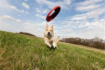 Alsatian dog running through field to catch frisbee Stock Photo - Premium Royalty-Free, Code: 614-06897423