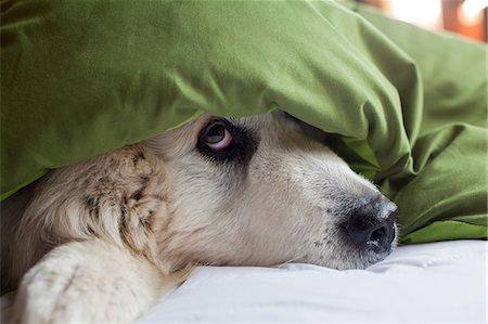 Domestic dog hiding under duvet Stock Photo - Premium Royalty-Free, Code: 614-06974509