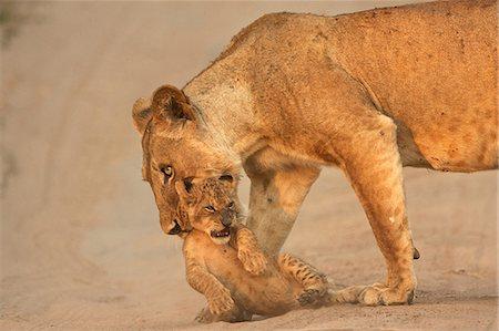 Lioness carrying cub, Mana Pools National Park,  Zimbabwe, Africa Stock Photo - Premium Royalty-Free, Code: 614-06974570
