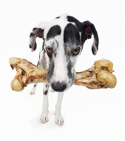 Studio portrait of great dane carrying large bone Stock Photo - Premium Royalty-Free, Code: 614-07031948