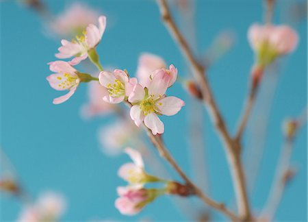 Japanese cherry blossom, close up Stock Photo - Premium Royalty-Free, Code: 614-07032052