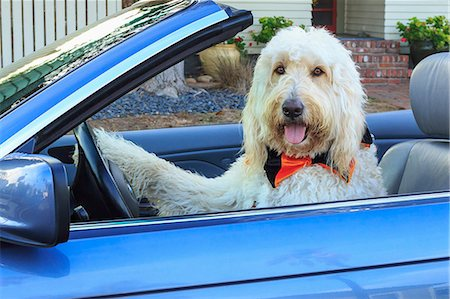 road trip - Shaggy white doodle dog driving convertible Stock Photo - Premium Royalty-Free, Code: 614-07444044