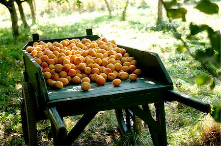 day - Full wheelbarrow of harvested apricots in farm orchard Stock Photo - Premium Royalty-Free, Code: 614-07444221