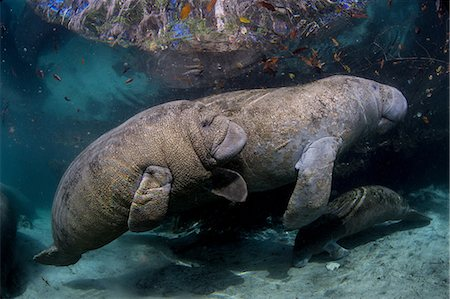 Mother Manatee and calf. Stock Photo - Premium Royalty-Free, Code: 614-07587593