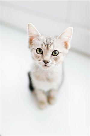 Overhead view of tabby kitten on floor Stock Photo - Premium Royalty-Free, Code: 614-07708198