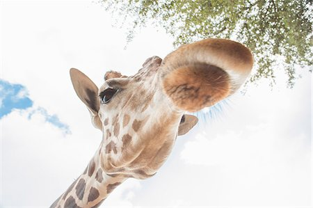 Low angle close up portrait of a giraffe Stock Photo - Premium Royalty-Free, Code: 614-07805859