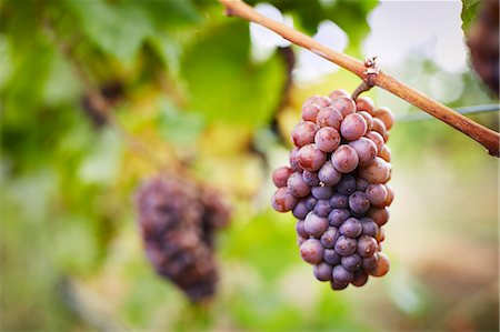 Close up of bunch of red grapes on vine, Kelowna, British Columbia, Canada Stock Photo - Premium Royalty-Free, Code: 614-08000288