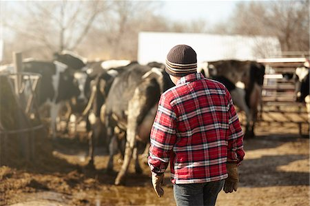 Rear view of boy herding cows in dairy farm yard Stock Photo - Premium Royalty-Free, Code: 614-08065932