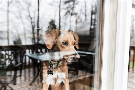 Dog looking out of window Stock Photo - Premium Royalty-Free, Code: 614-08081227