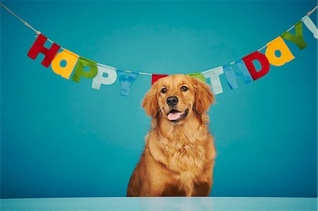 Golden retriever sitting in front of 'Happy Birthday' sign Stock Photo - Premium Royalty-Free, Code: 614-08081328