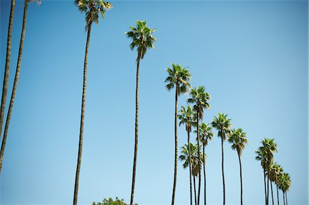 palm - Row of tall palm trees, Los Angeles, USA Stock Photo - Premium Royalty-Free, Code: 614-08545011