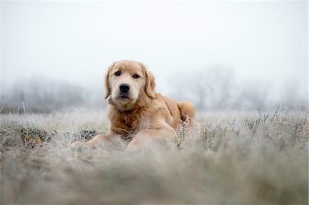 furry - Surface level view of golden retriever lying in field on frosty morning looking at camera Stock Photo - Premium Royalty-Free, Code: 614-08879121