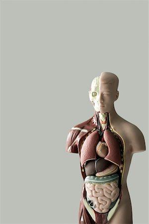 Anatomical model Stock Photo - Premium Royalty-Free, Code: 614-01702100