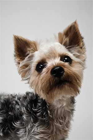 furry - Yorkshire terrier Stock Photo - Premium Royalty-Free, Code: 614-03080396