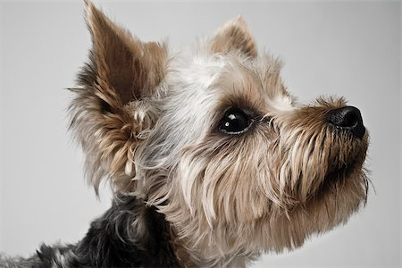 furry - Yorkshire terrier Stock Photo - Premium Royalty-Free, Code: 614-03080405