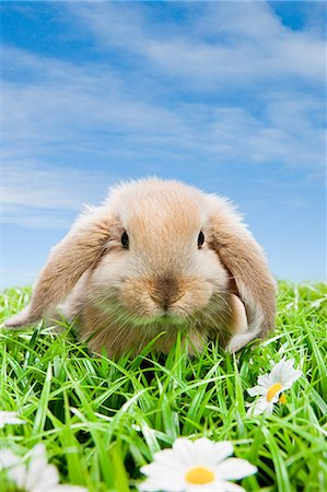 fluffy - Rabbit on grass Stock Photo - Premium Royalty-Free, Code: 614-03455489