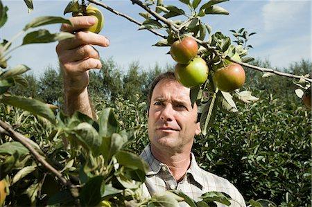 single fruits tree - Man picking fresh apples Stock Photo - Premium Royalty-Free, Code: 614-03684457