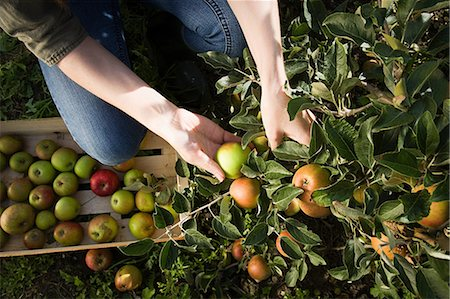 single fruits tree - Young woman picking fresh apples Stock Photo - Premium Royalty-Free, Code: 614-03684467