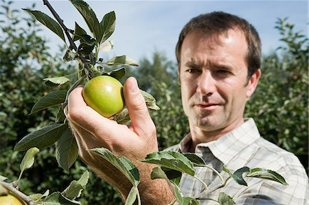 single fruits tree - Man picking fresh apples Stock Photo - Premium Royalty-Free, Code: 614-03684492