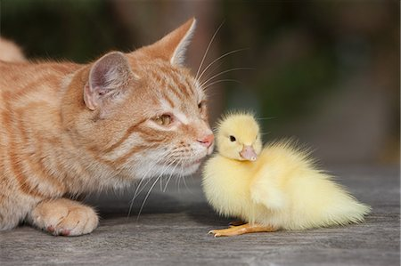 fluffy - Ginger cat and duckling Stock Photo - Premium Royalty-Free, Code: 614-03747397