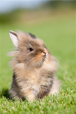 fluffy - One rabbit sitting on grass Stock Photo - Premium Royalty-Free, Code: 614-03747622