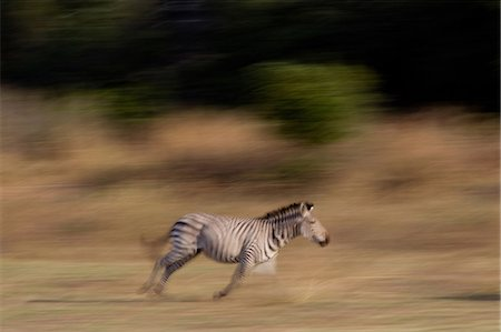 Running zebra Stock Photo - Premium Royalty-Free, Code: 614-03784218