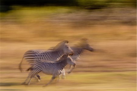 Running zebra Stock Photo - Premium Royalty-Free, Code: 614-03784219