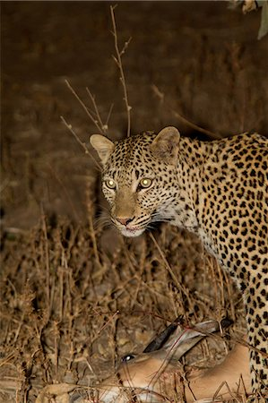 predator - Leopard with fresh kill Stock Photo - Premium Royalty-Free, Code: 614-03784213