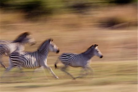 Running zebra Stock Photo - Premium Royalty-Free, Code: 614-03784220