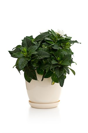 potted plant - Gardenia in the pot Stock Photo - Premium Royalty-Free, Code: 618-05450854