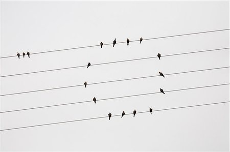 Pigeons perched on telephone wires Stock Photo - Premium Royalty-Free, Code: 618-06119240
