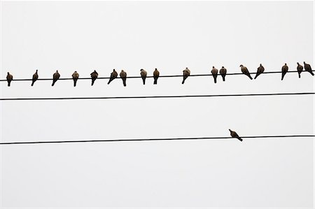 Pigeons perched on telephone wires Stock Photo - Premium Royalty-Free, Code: 618-06119243