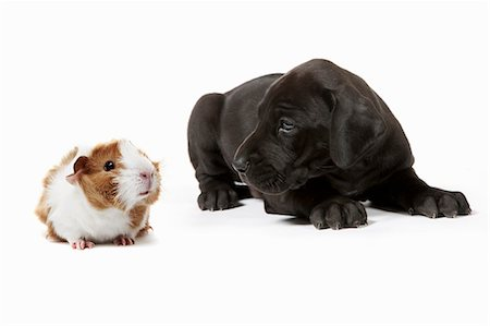 Great Dane puppy and Guinea Pig sit together Stock Photo - Premium Royalty-Free, Code: 618-06318282