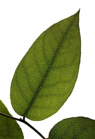 stem - Green leaf on a branch Stock Photo - Premium Royalty-Free, Code: 618-06347083