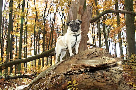 pvg - Pug dog standing forest Stock Photo - Premium Royalty-Free, Code: 618-06405816
