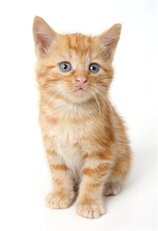 Ginger Kitten Stock Photo - Premium Royalty-Free, Code: 618-06436670