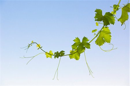 New shoot on grape vine. Stock Photo - Premium Royalty-Free, Code: 618-06504327