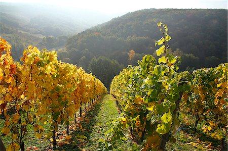 vineyard in autumnal colours, Saar Valley, Germany Stock Photo - Premium Royalty-Free, Code: 618-06538572