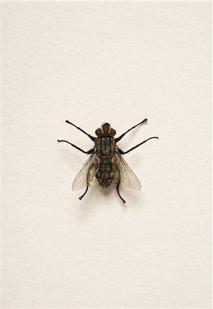 fly - Fly on white background. Stock Photo - Premium Royalty-Free, Code: 618-06538923