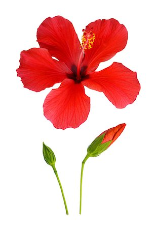 stamen - Hibiscus flower from bud to full bloom. Stock Photo - Premium Royalty-Free, Code: 618-06538993